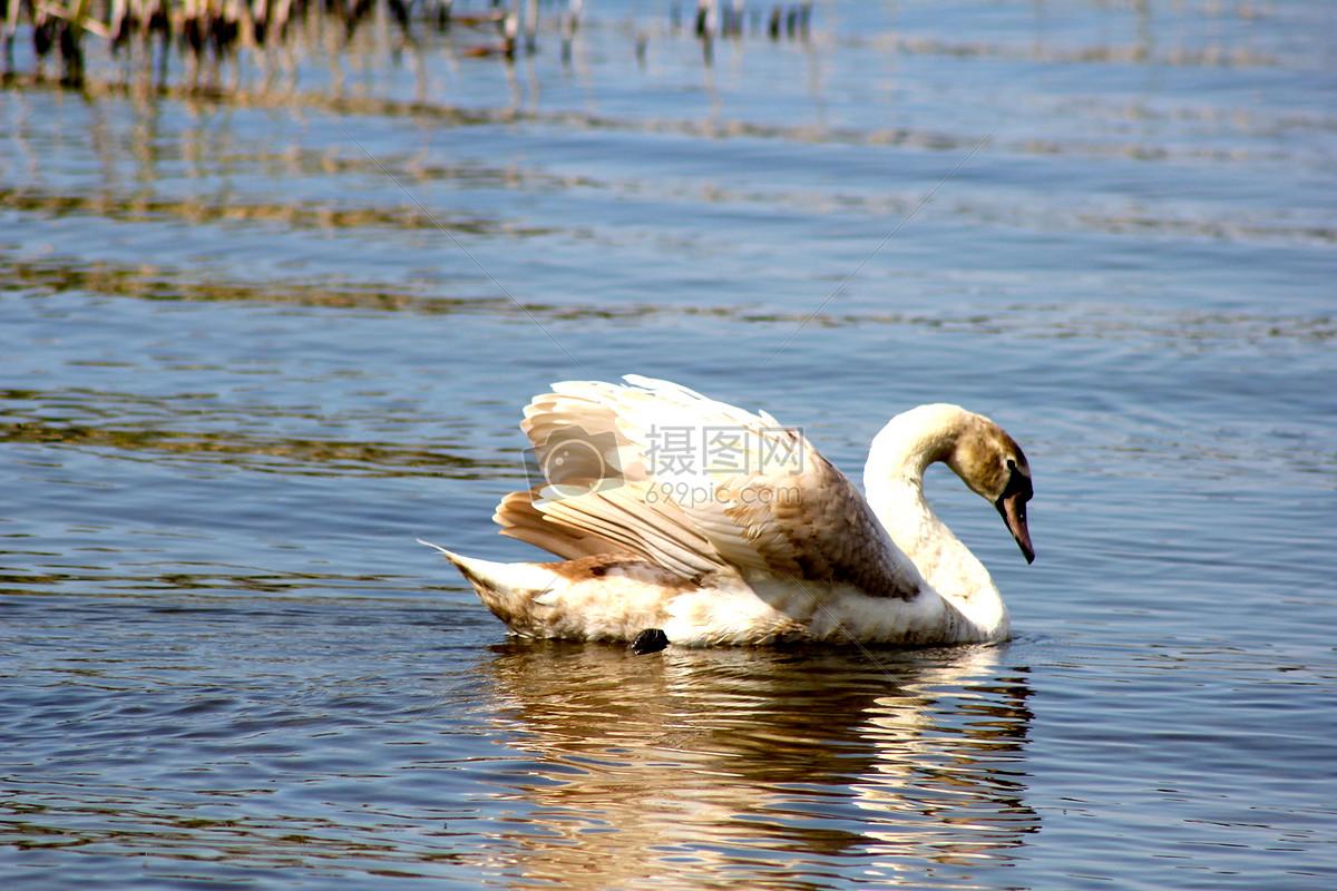标签: 动物天鹅鸟动物图片动物图片免费下载 版权申明:本网站所有vrf