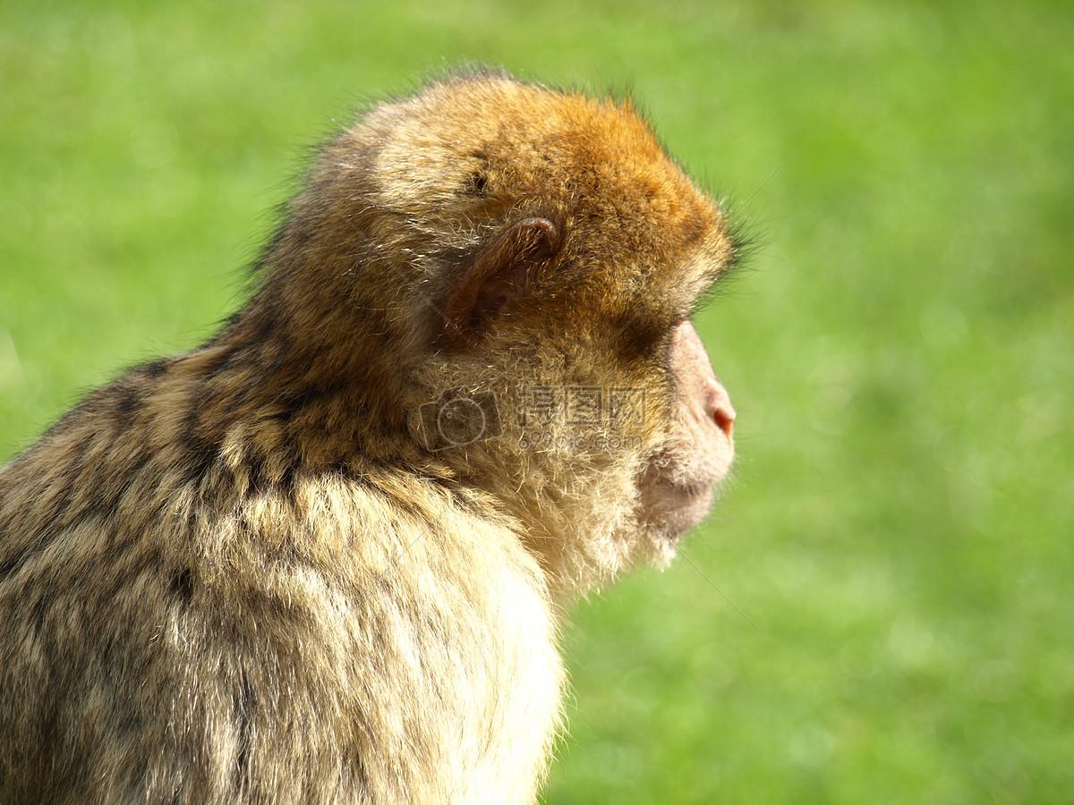 呆萌可爱的小猴子图片