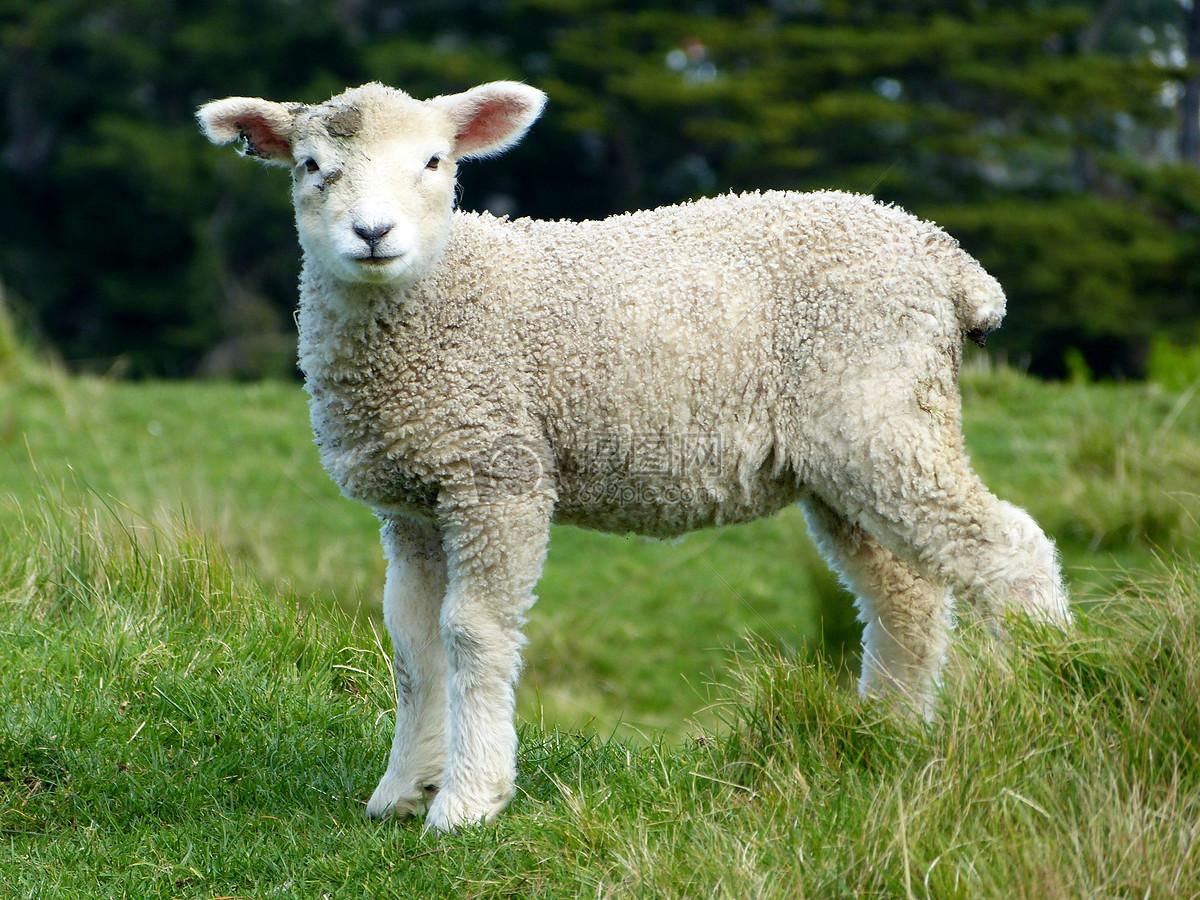 可爱的小山羊图片