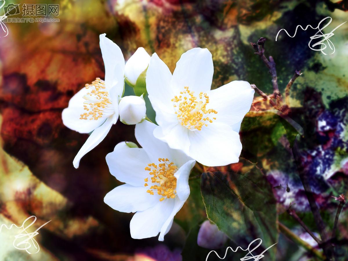 白色的茉莉花图片素材_免费下载_jpg图片格式_高清40