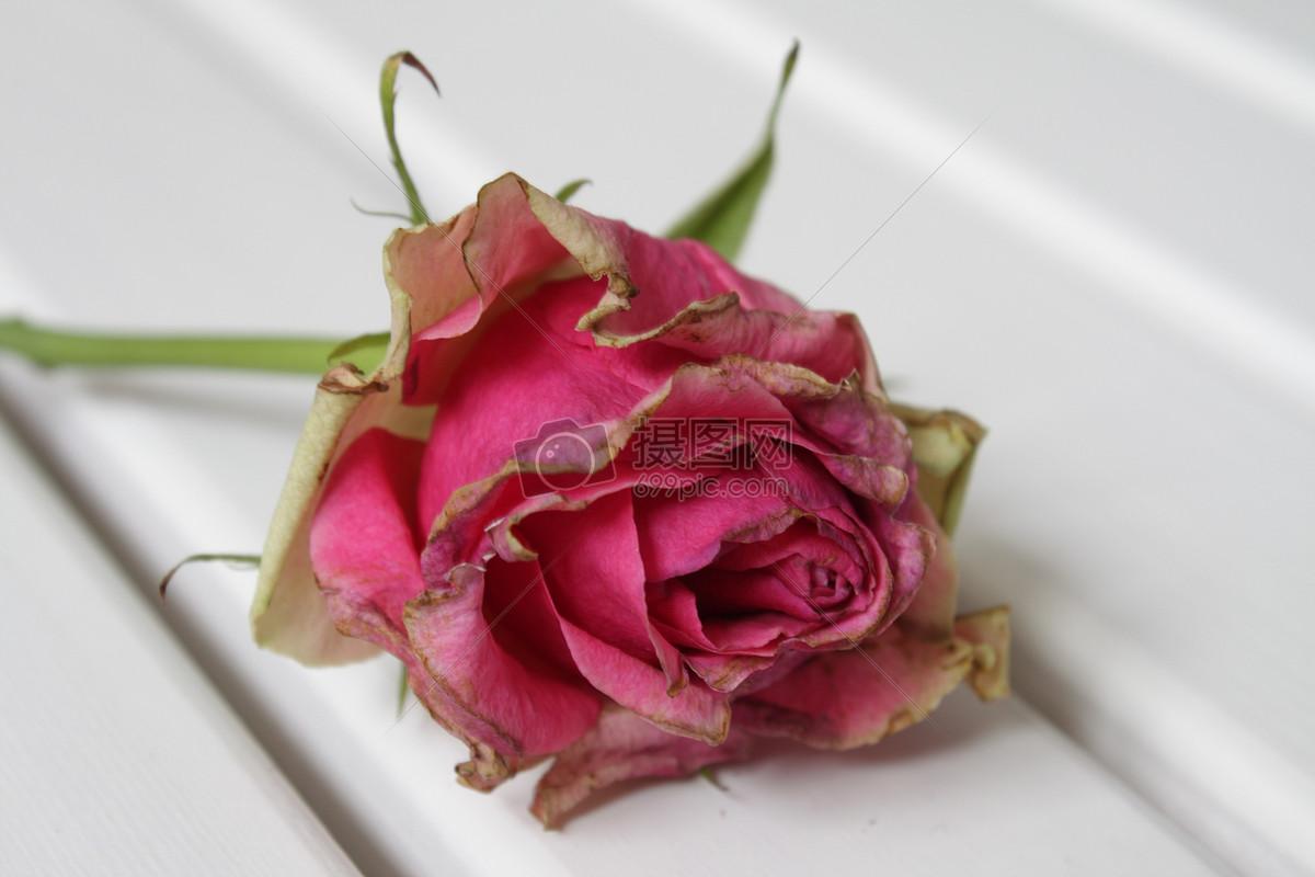 枯萎的玫瑰花 图片