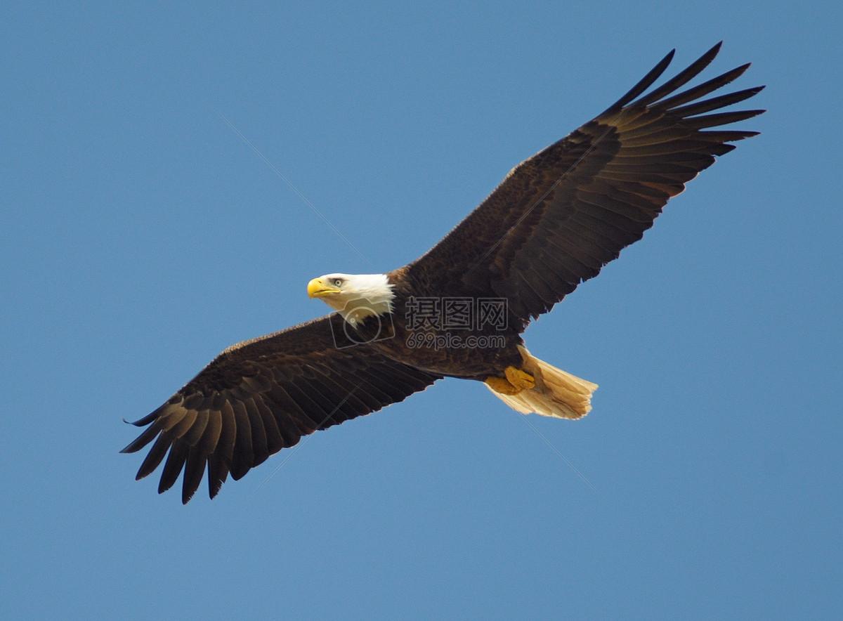照片 自然风景 蓝天下飞翔的鹰.