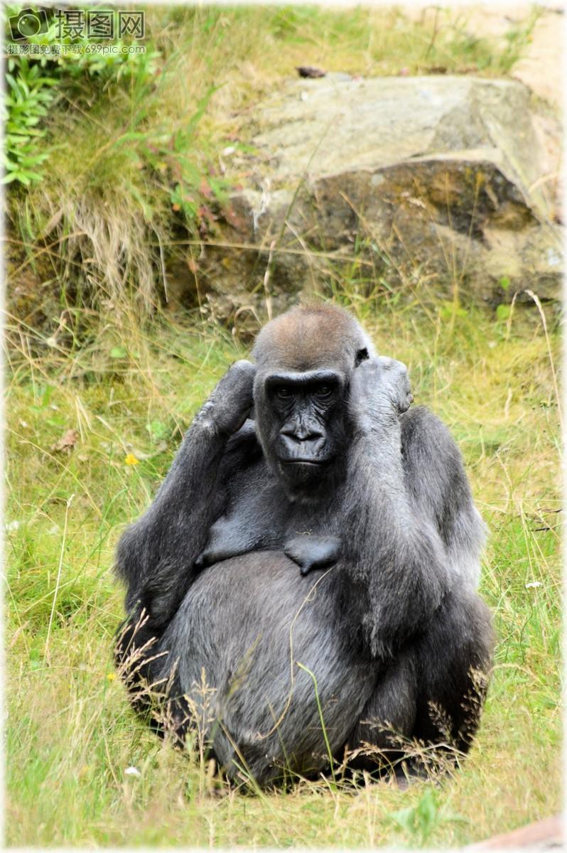 大猩猩图片