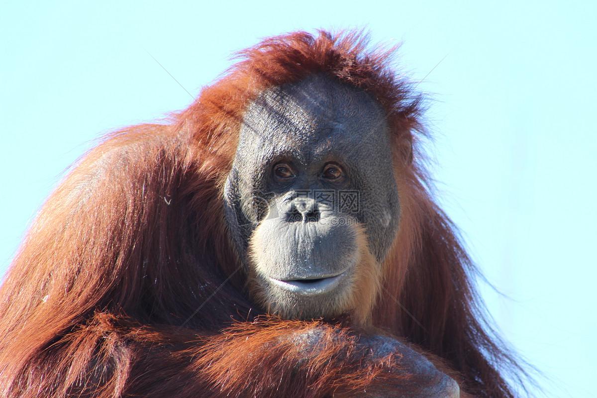 疯狂动物园猩猩技能
