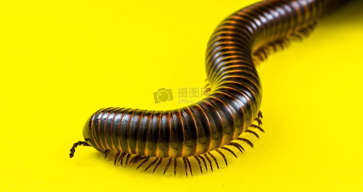 标签: 千足虫节肢动物巨型蜈蚣