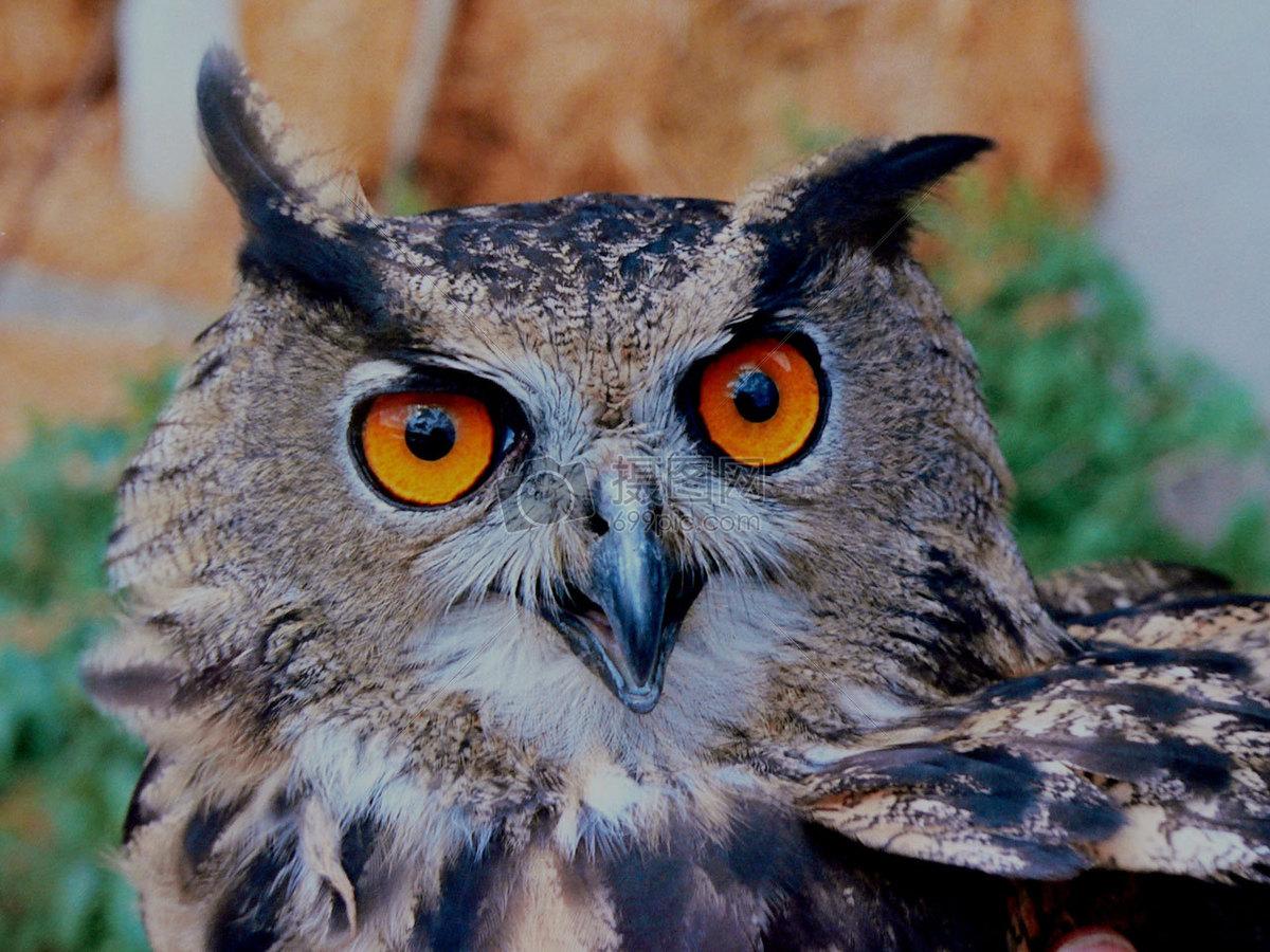 图片 照片 自然风景 大眼睛的猫头鹰.jpg