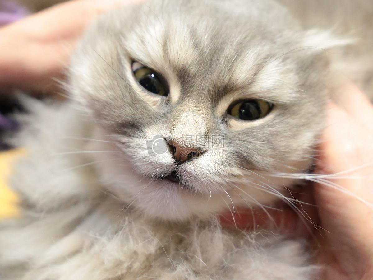 波斯猫图片素材_免费下载_jpg图片格式_高清图片_摄