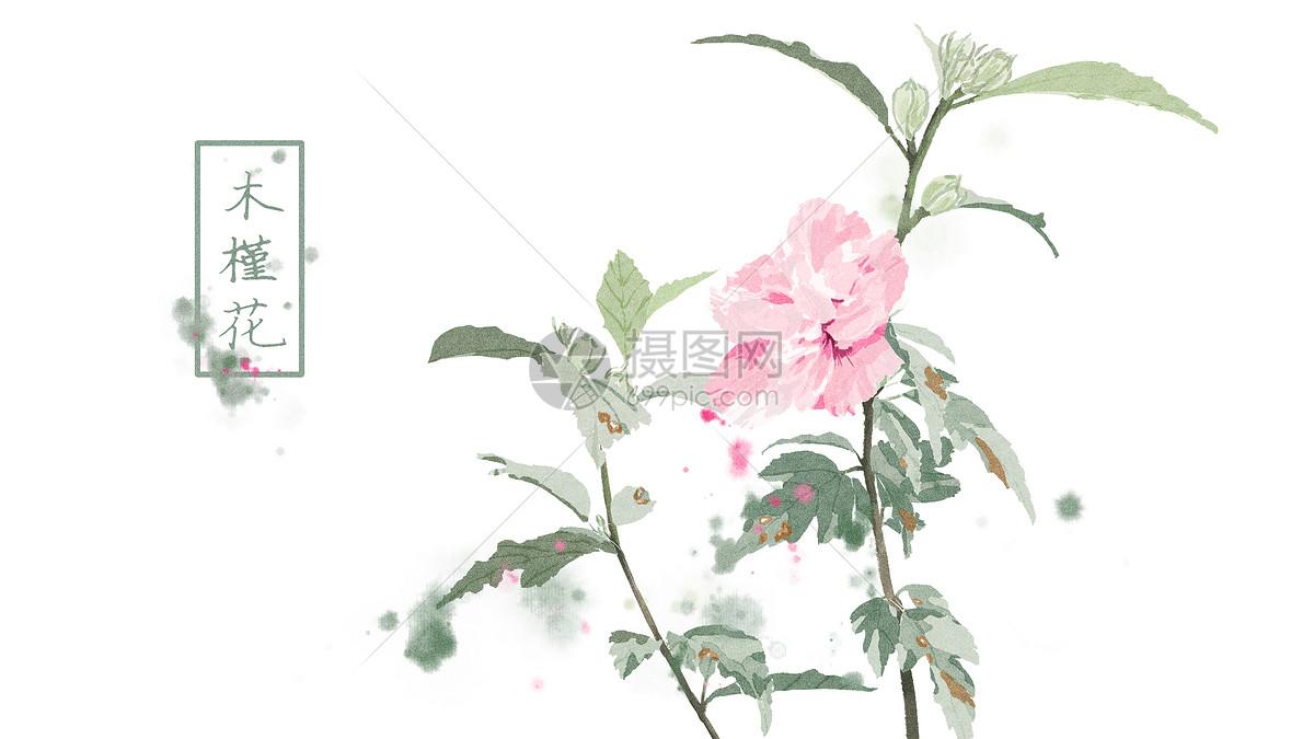 中国风手绘木槿花插画