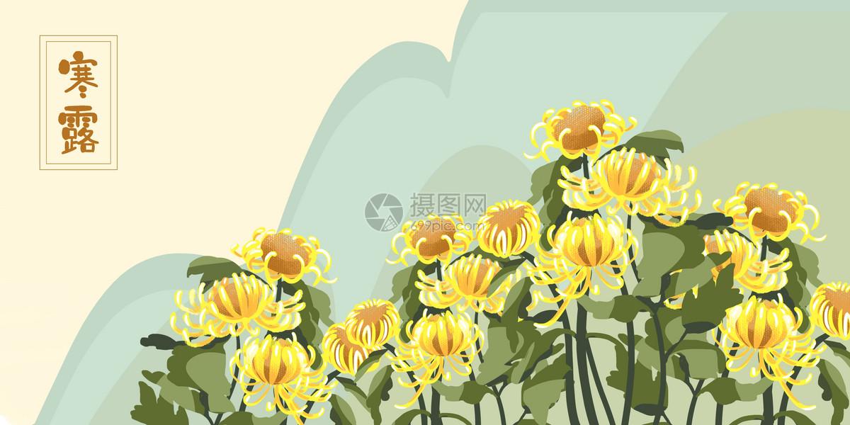 金黄色菊花寒露背景图片