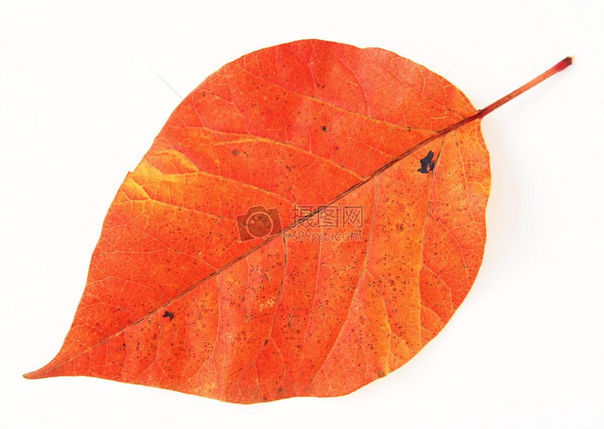 一片秋天的树叶