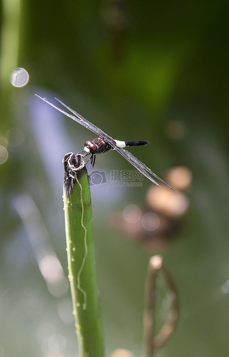 荷枝上的蜻蜓图片