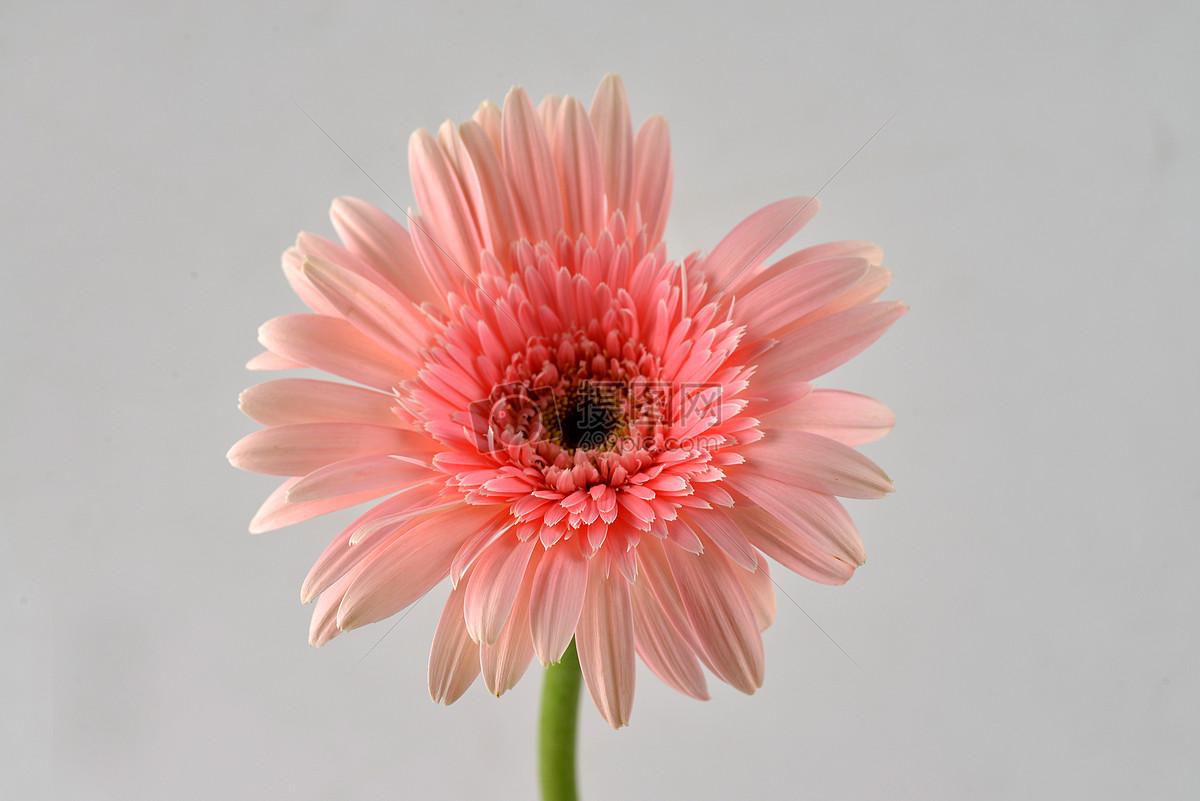 图片 照片 自然风景 淡红粉色非洲菊.jpg