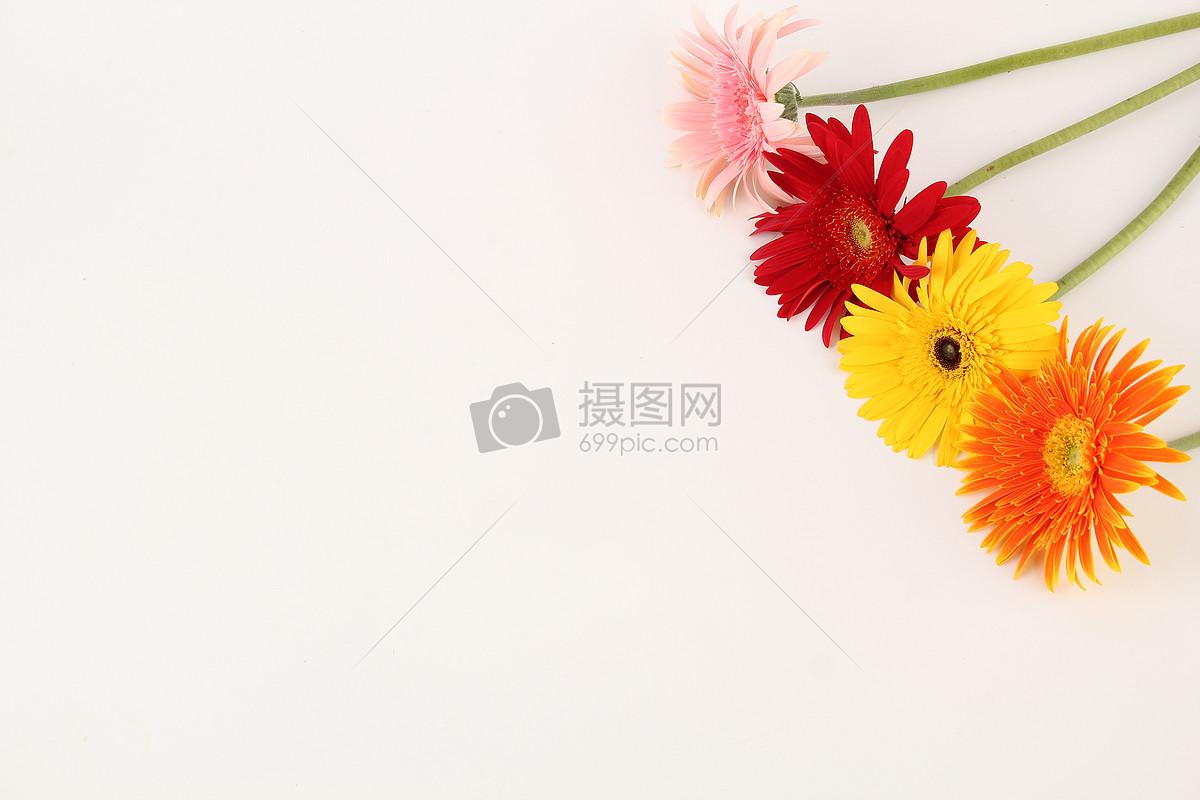 图片 照片 自然风景 四色非洲菊白色背景摆拍.jpg