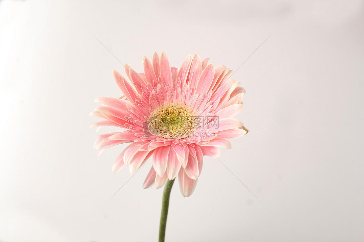 粉色淡红色非洲菊图片