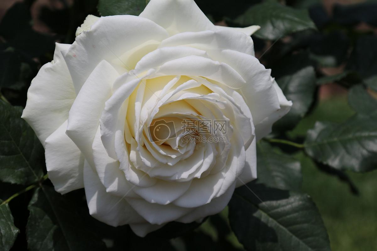 白色月季花图片