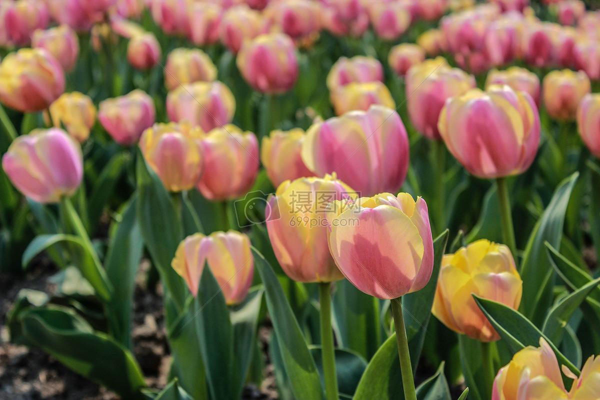 植物园里盛开的郁金香图片