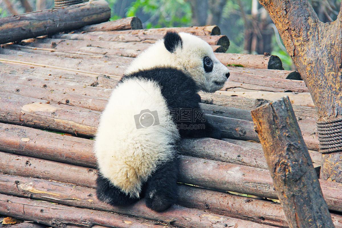 动物园里的熊猫
