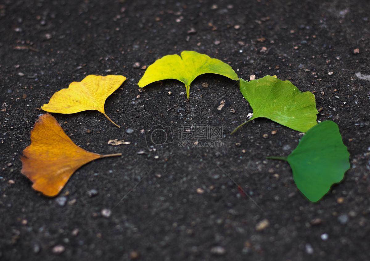 银杏树叶的变化图片