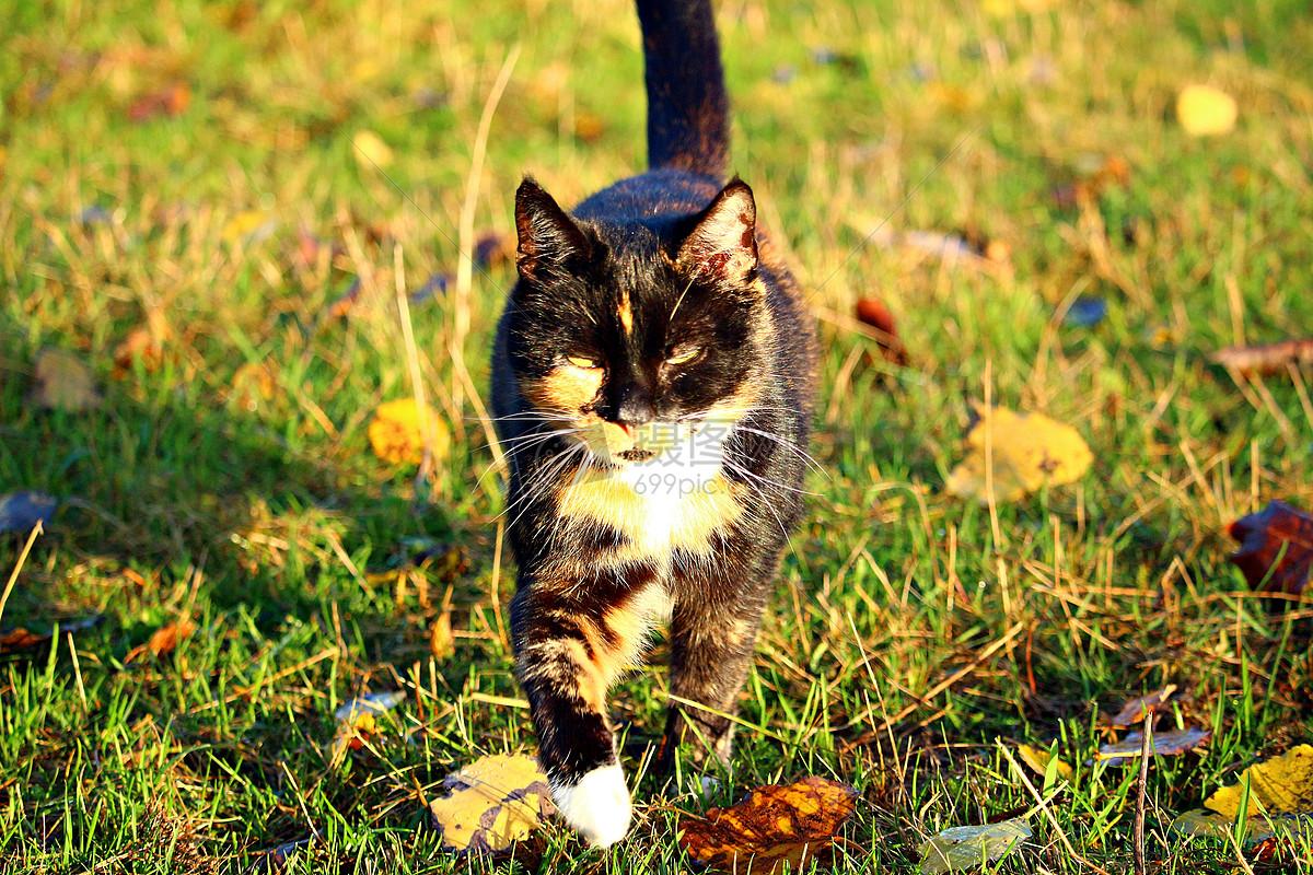 图片 照片 自然风景 走在草坪里的猫咪.jpg