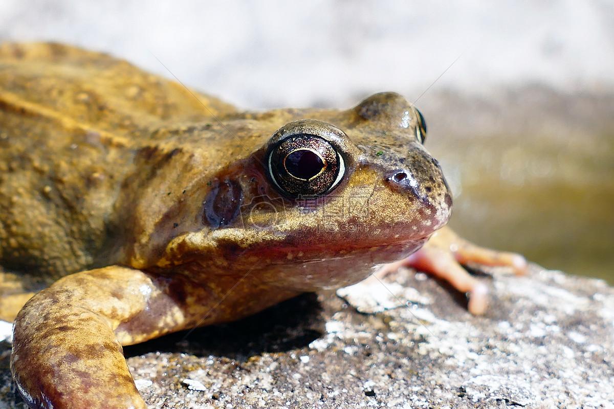 标签: 青蛙动物爬行绿色抬头天空石头爬行动物抬头爬行的青蛙图片