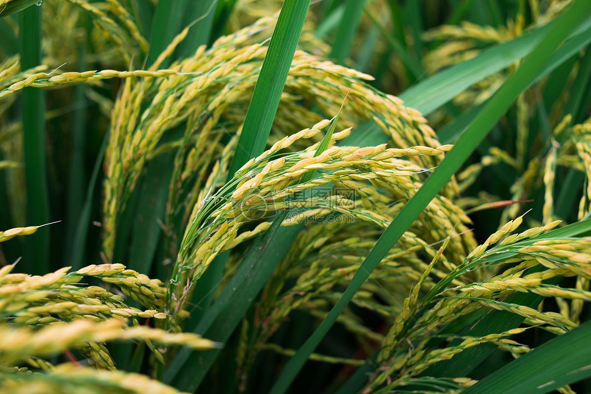 水稻根横切手绘图