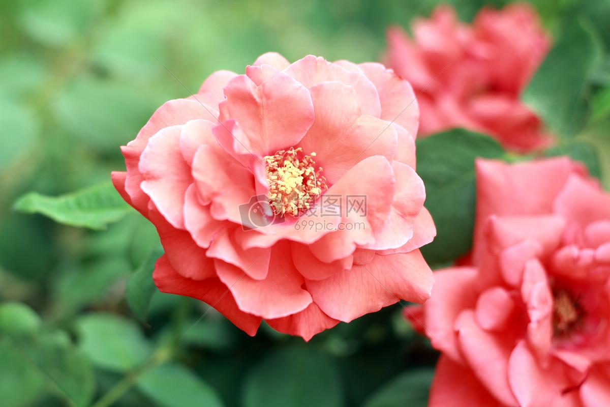 图片 照片 自然风景 盛开的粉色花朵.jpg