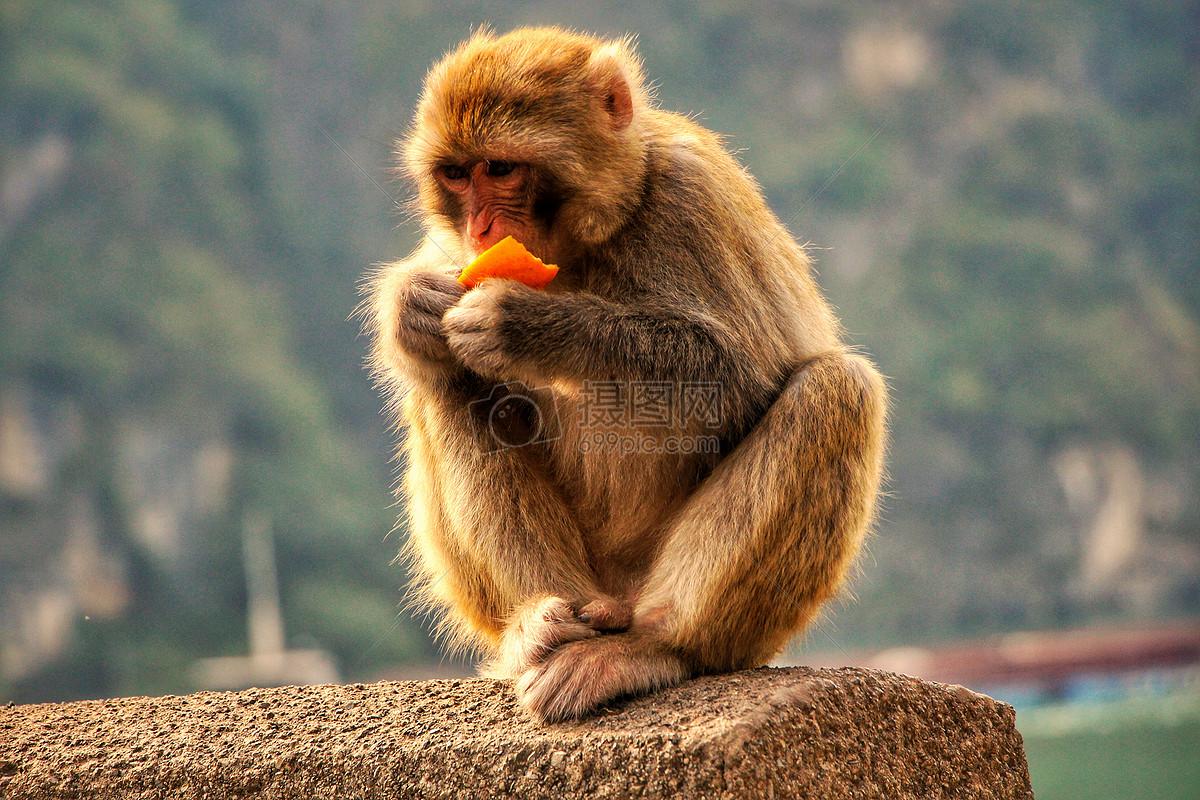 吃橙子的猴子摄影图片免费下载_动物图库大全_编号-摄