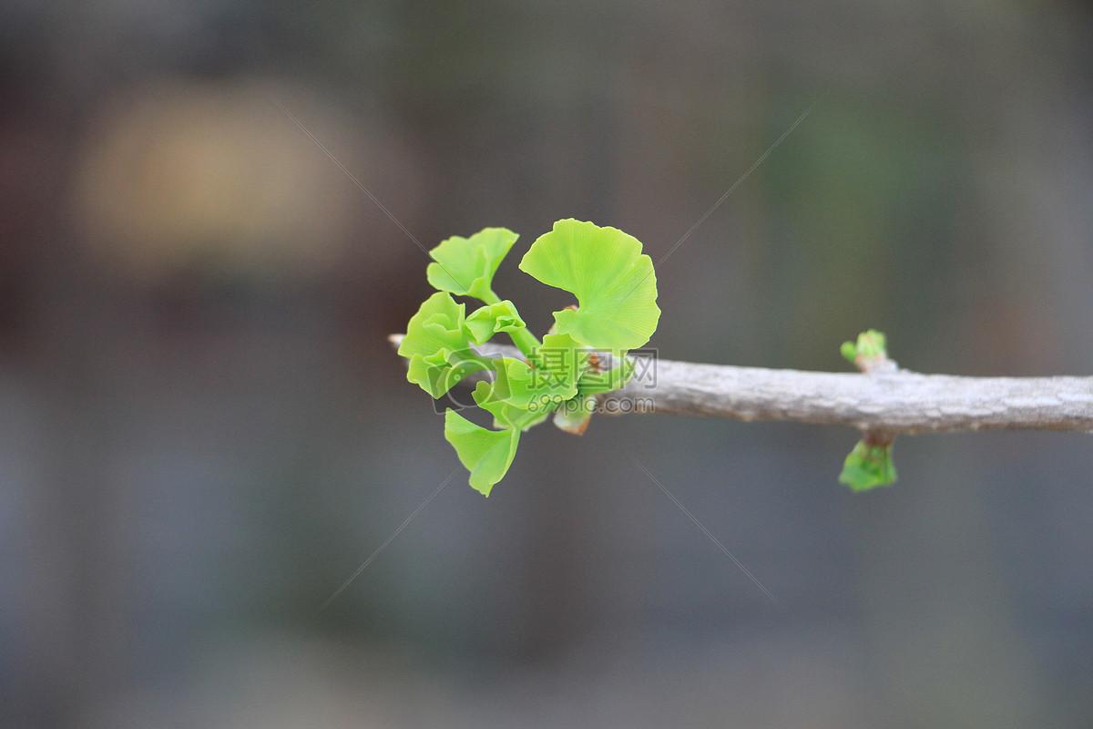 四月银杏村摄影图片免费下载_自然/风景图库大全_编号
