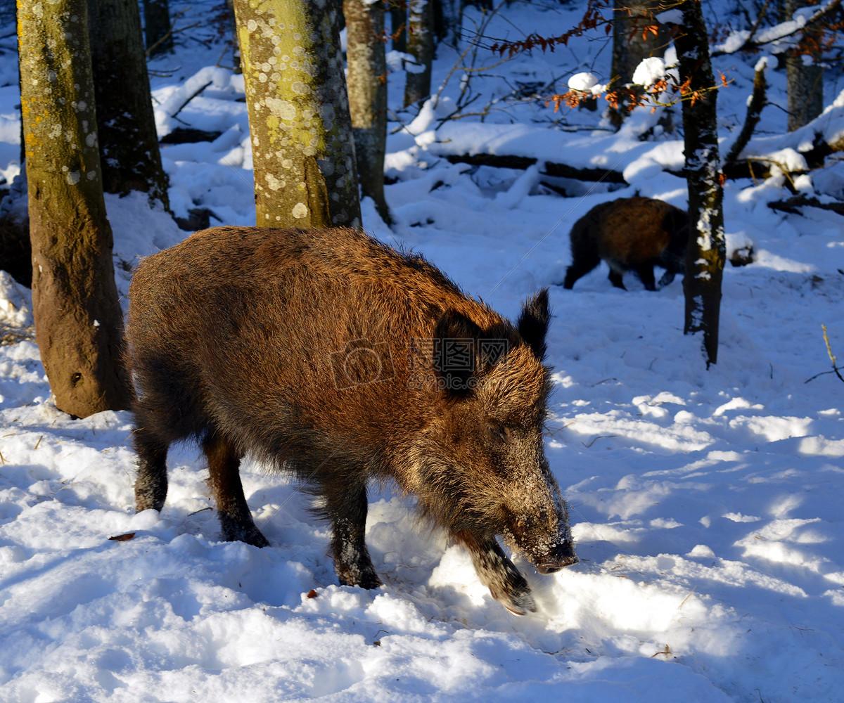 雪地里的野猪摄影图片免费下载_动物图库大全_编号-摄