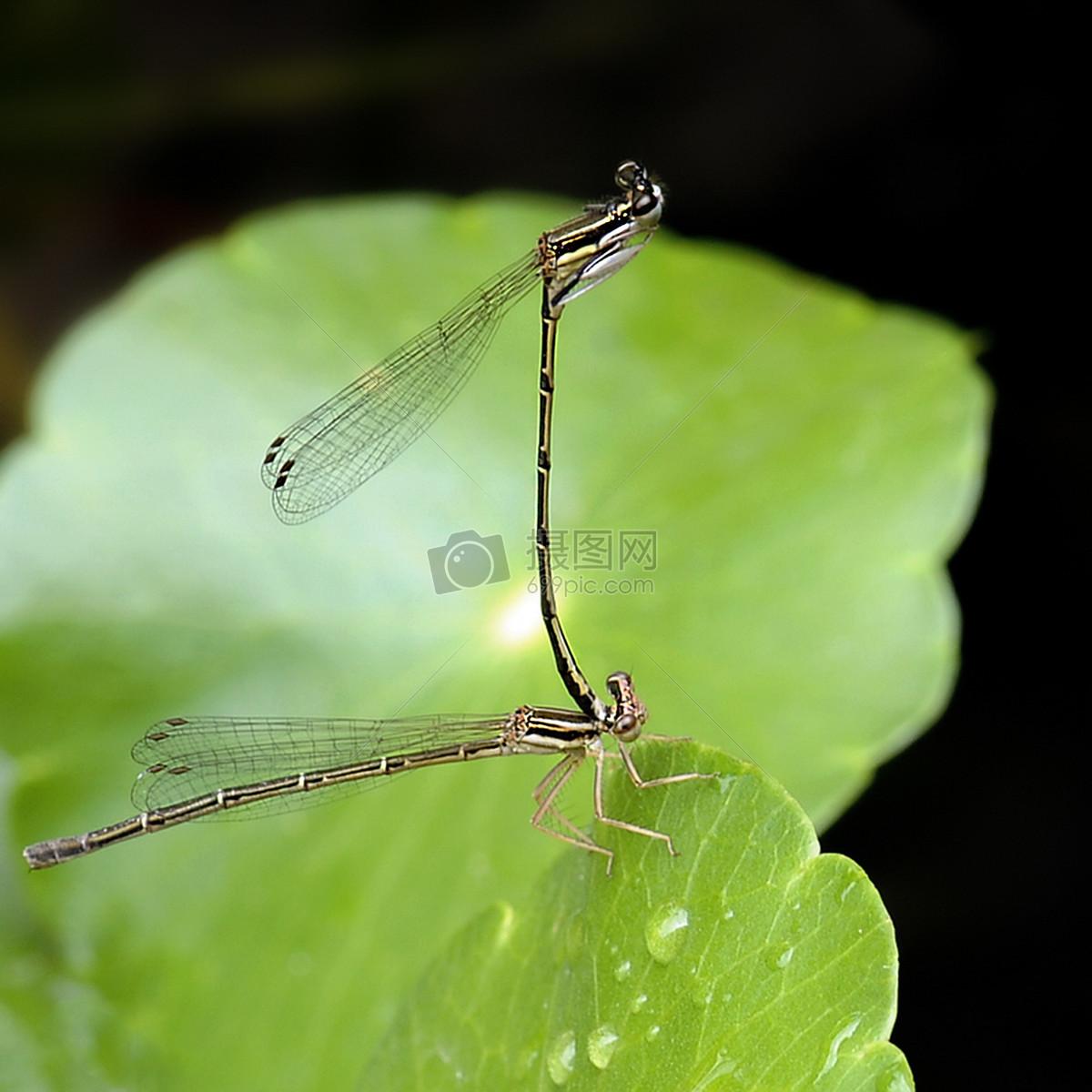 蜻蜓在荷叶上