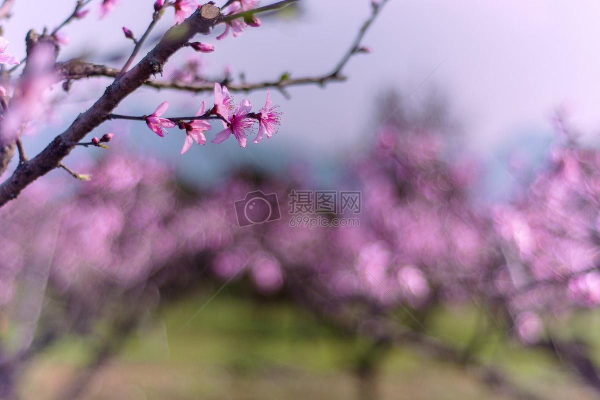 标签: 十里桃花春天桃花春天的美景春季的花桃木桃林粉色诗意美景春天