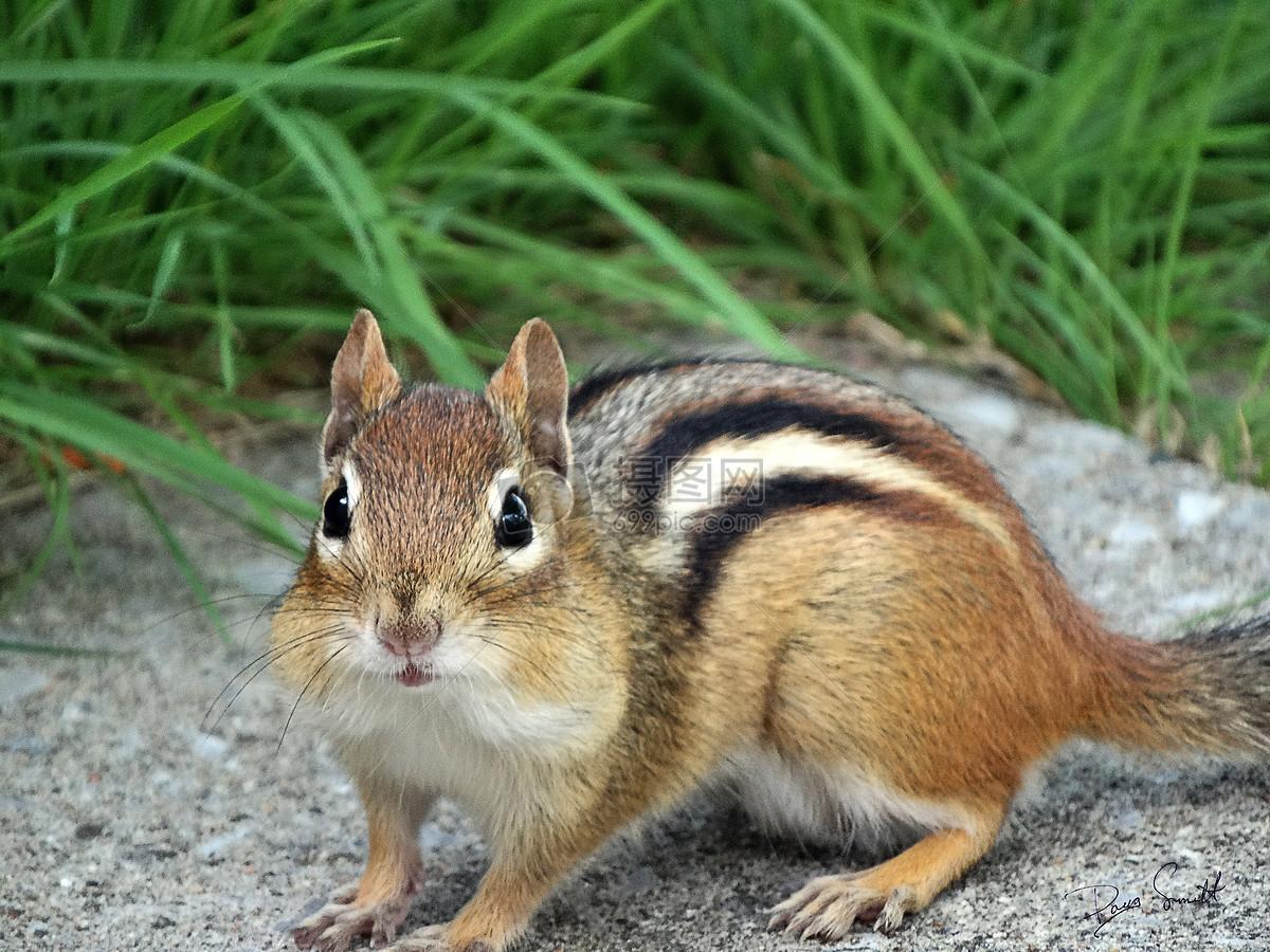 松鼠摄影图片免费下载_动物图库大全_编号500315694