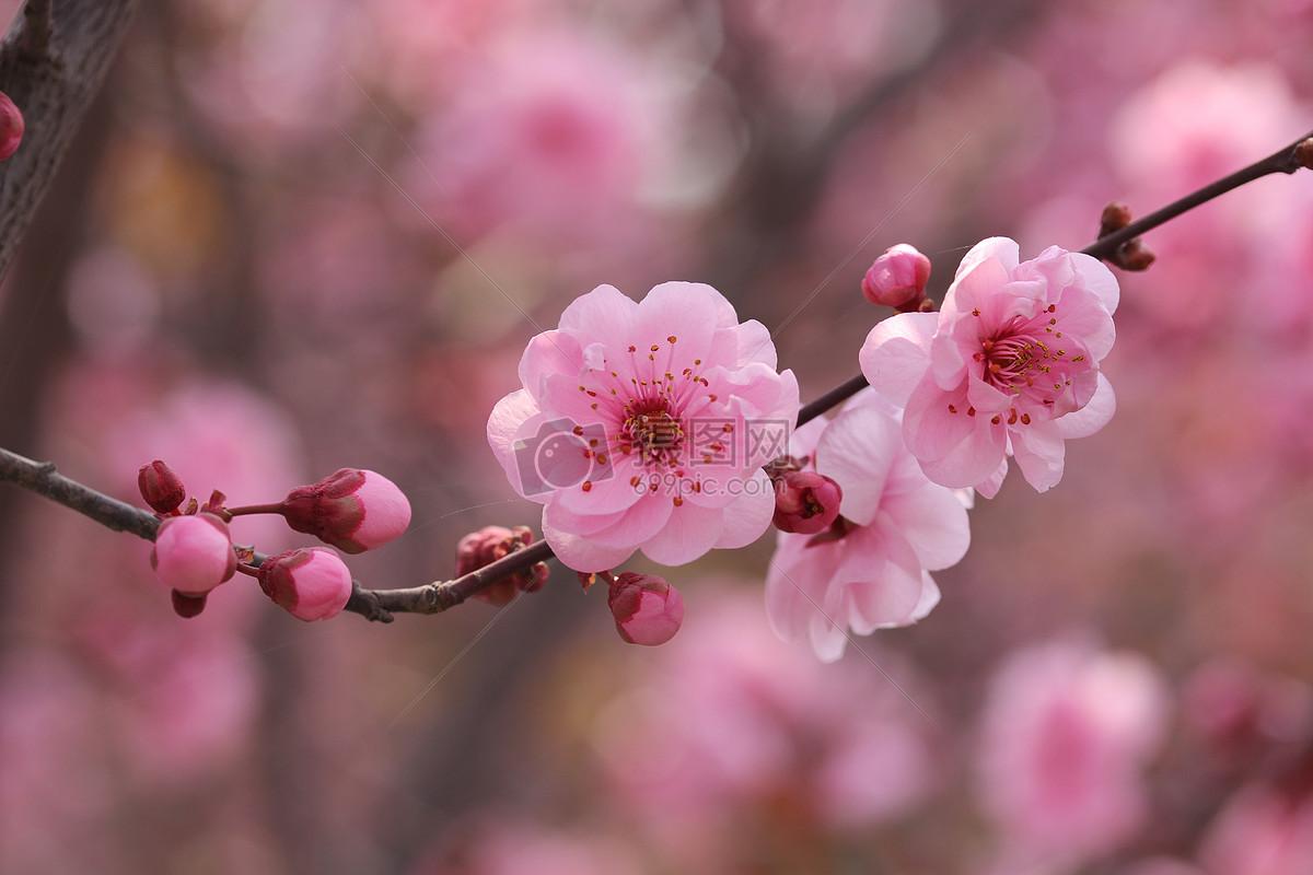 春天桃花盛开图片素材_免费下载_jpg图片格式_vrf高清图片500320125