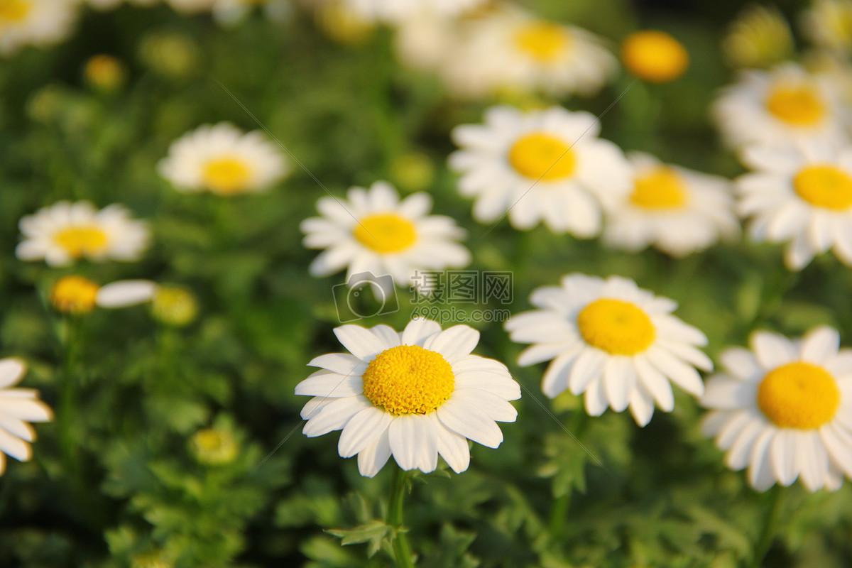 图片 照片 自然风景 春天的小雏菊.jpg