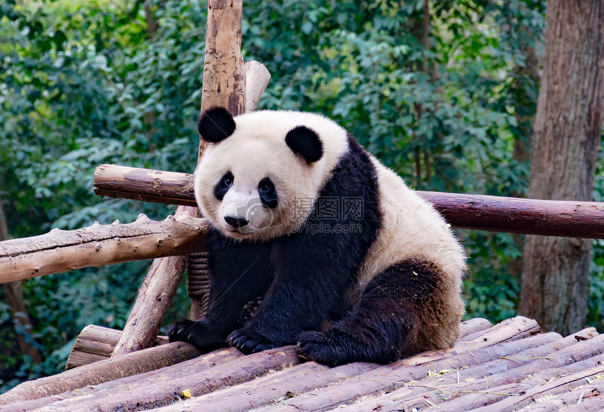 大熊猫摄影图片免费下载_动物图库大全_编号500328264