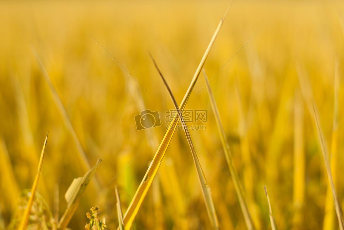 手工耕作稻田矢量图