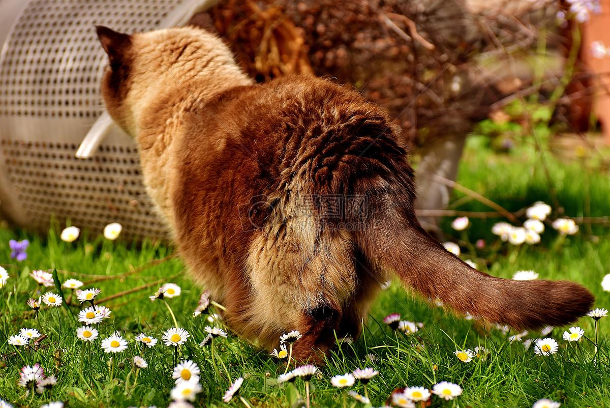 英国短尾猫摄影图片免费下载_动物图库大全_编号-摄