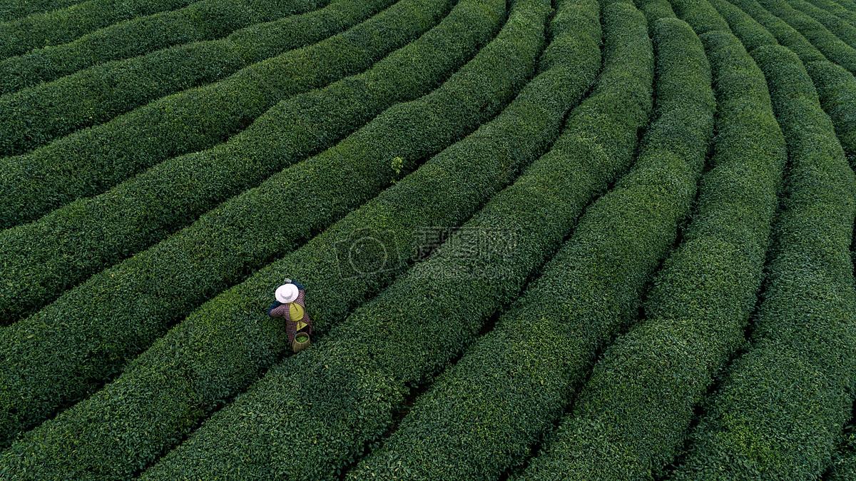 自然茶园茶叶采茶人图片