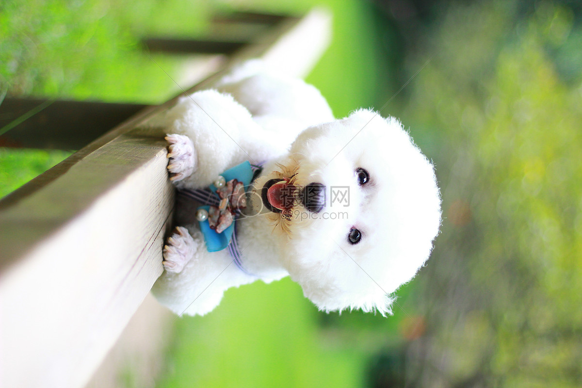 壁纸桌面比熊可爱