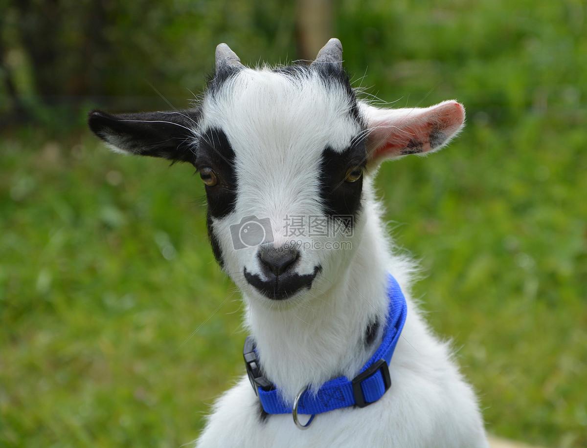 小羊羔摄影图片免费下载_动物图库大全_编号500368371