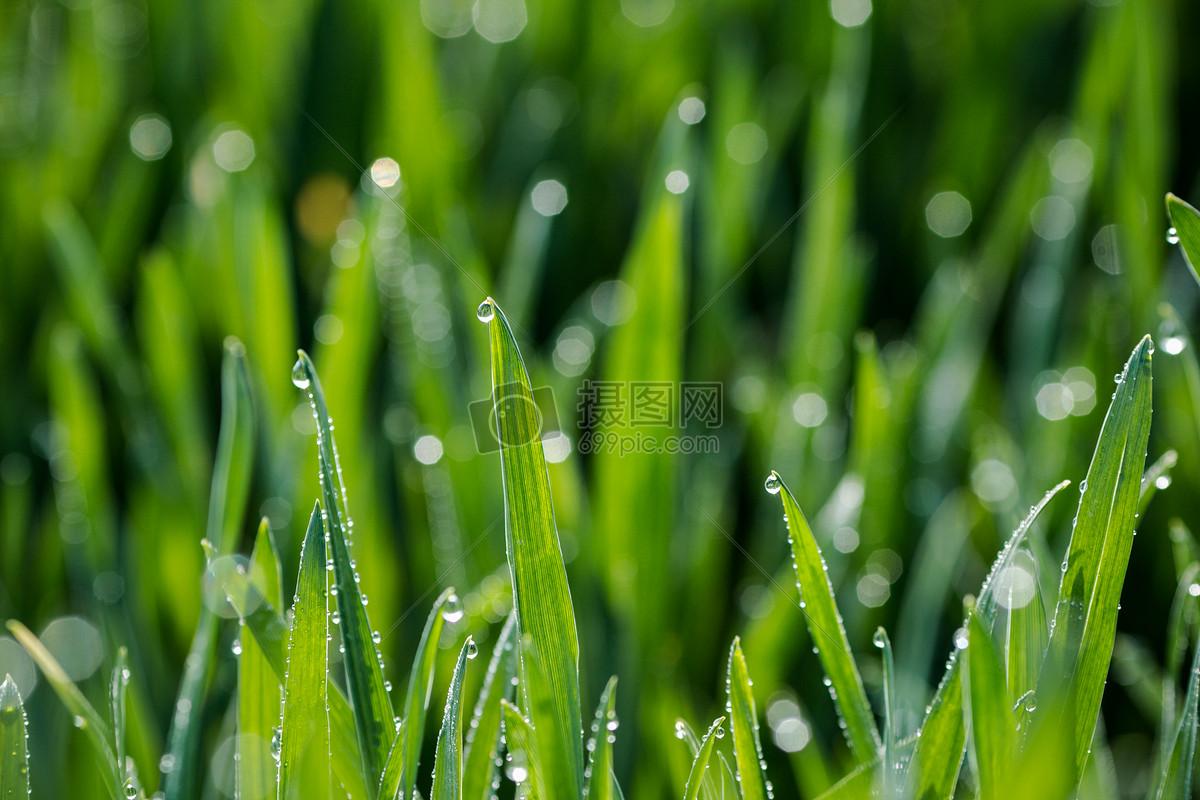 图片 照片 自然风景 麦苗上的露珠.jpg
