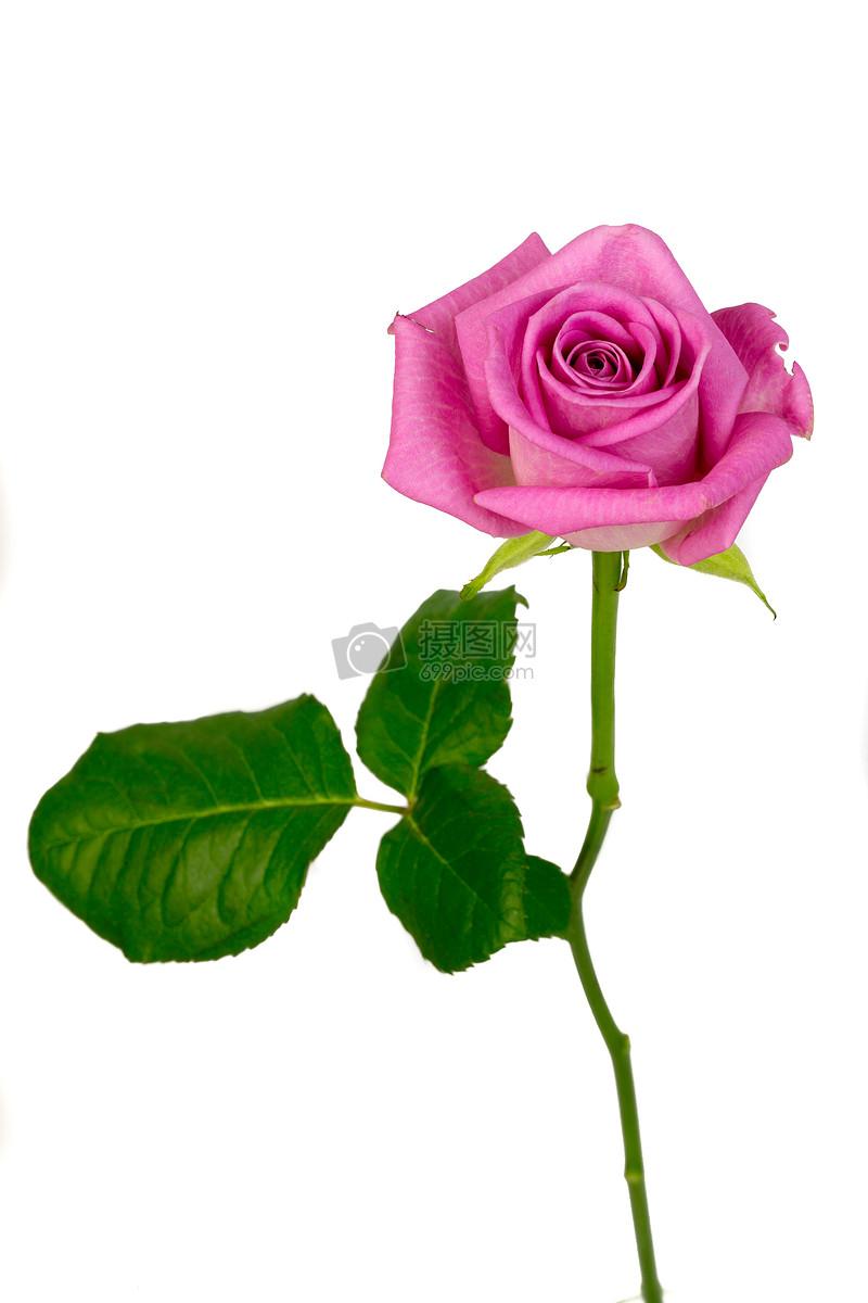 一支玫瑰图片素材_免费下载_jpg图片格式_高清图片_摄