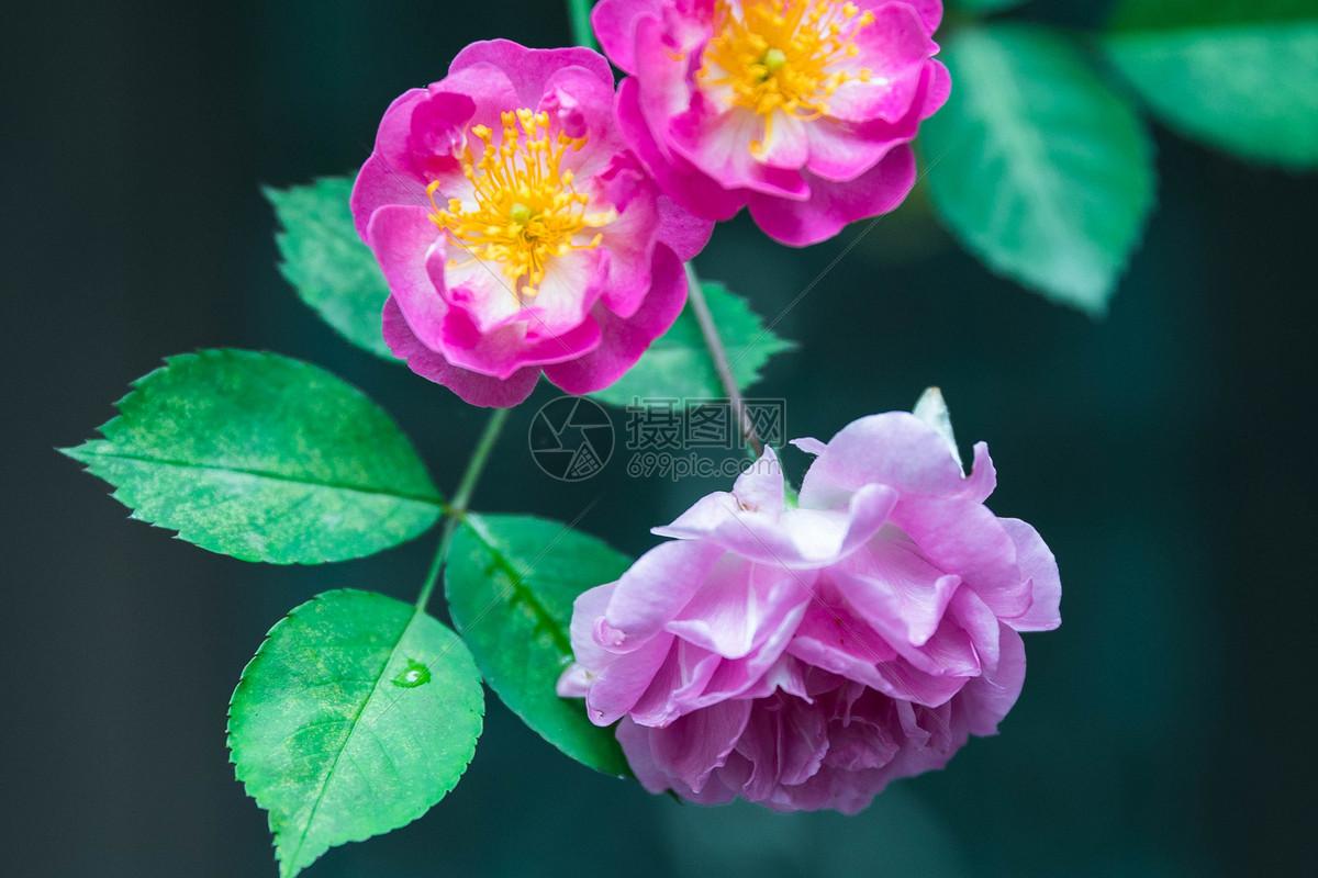 盛开的蔷薇花摄影图片免费下载_花草树木图库大全_-摄图片