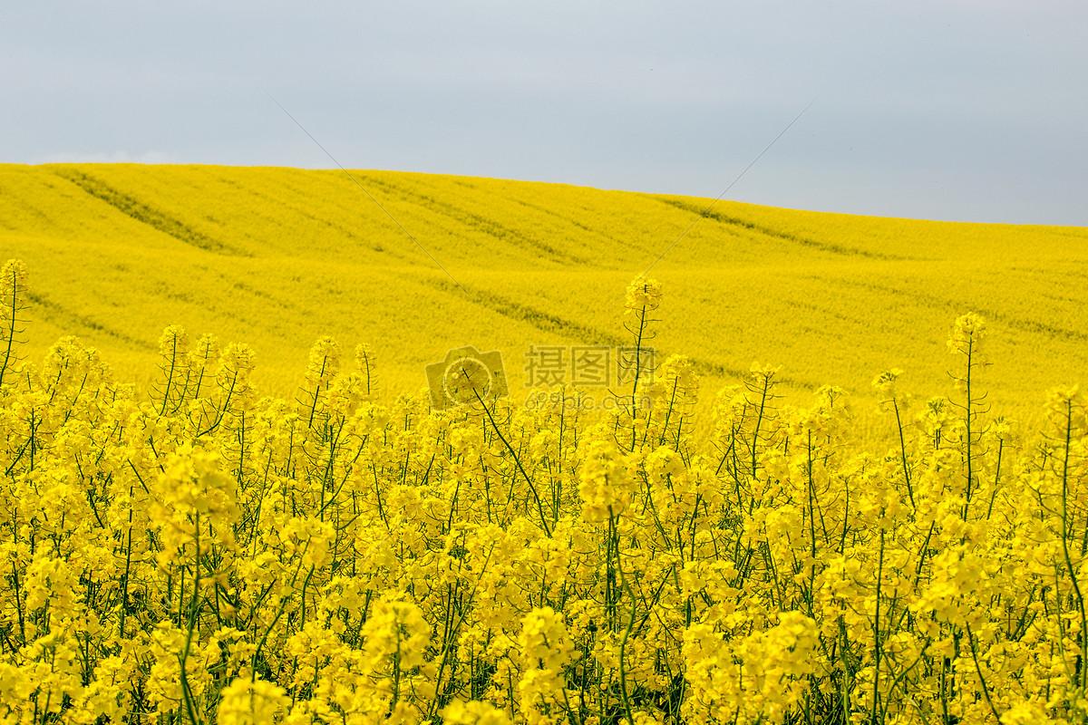 图片 照片 自然风景 金黄色的油菜花田.jpg