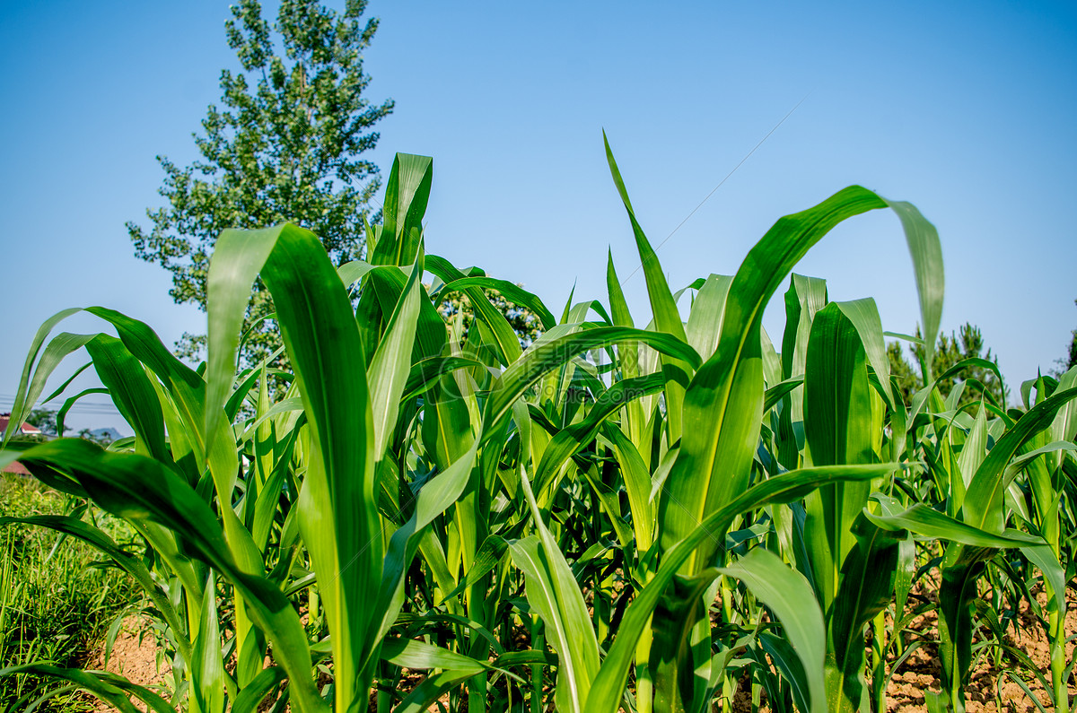 标签: 玉米植物自然美阳光风景春天山川农作物云夏天天空太阳丰收