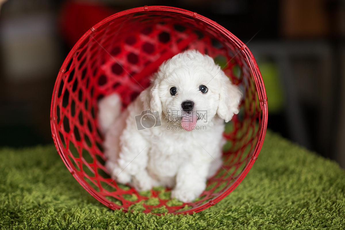 吐舌的可爱小狗