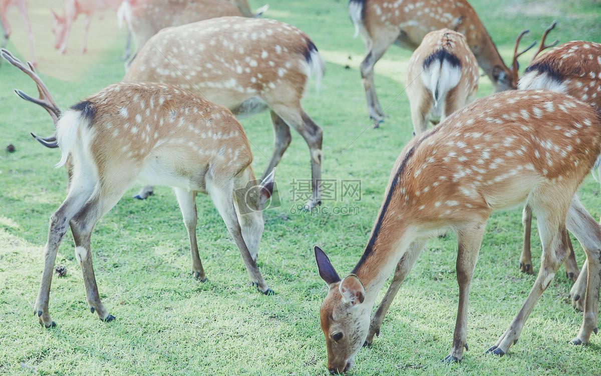 标签: 日本梅花鹿鹿旅游奈良动物界可爱动物奈良的鹿图片奈良的鹿