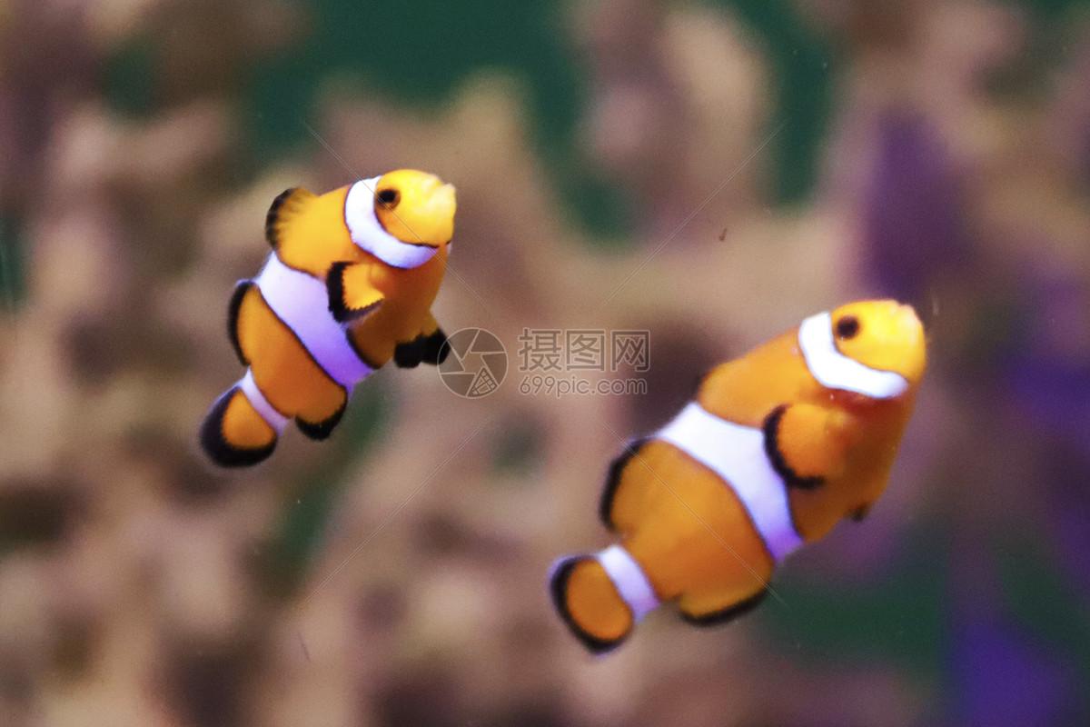 珊瑚里的小丑鱼摄影图片免费下载_动物图库大全_编号