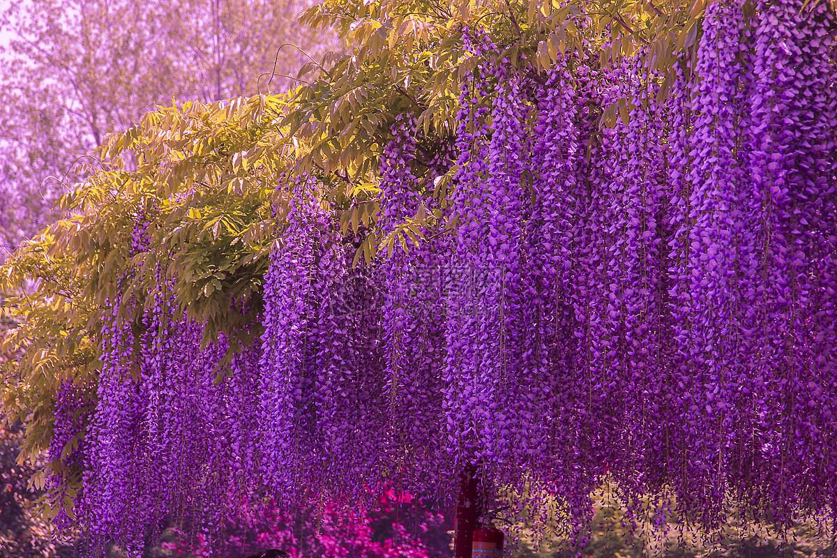 紫藤摄影图片免费下载_花草树木图库大全_编号-摄图片
