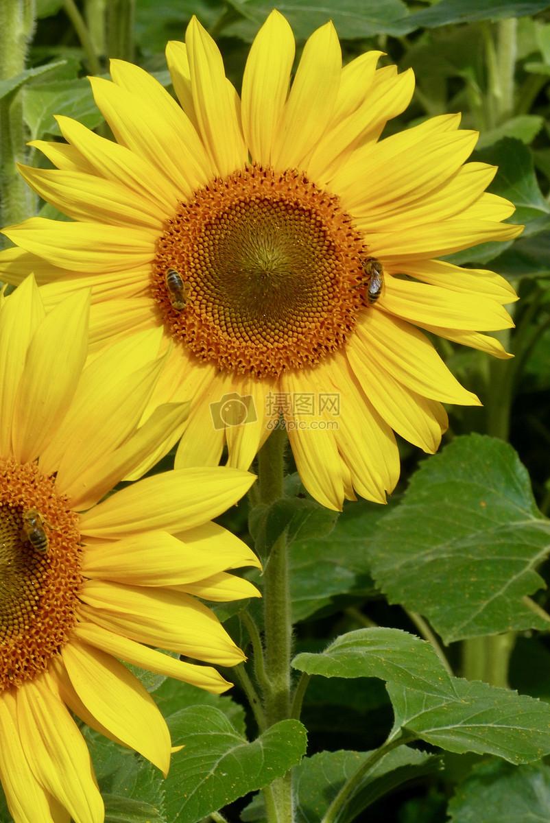 夏天的向日葵摄影图片免费下载_花草树木图库大全_-摄图片